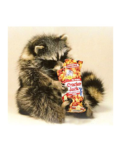Raccoon Snacking